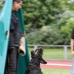 Riesenschnauzer Schwarz, Schutzdienst verbellen