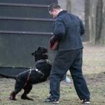 Riesenschnauzer Schwarz, Schutzdienst